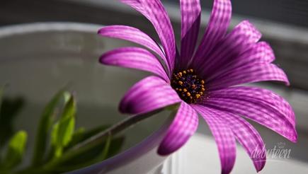 festa lilás